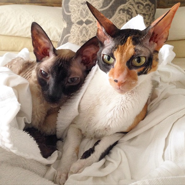 Phineas and Zelda, Cornish Rex cats, warm laundry