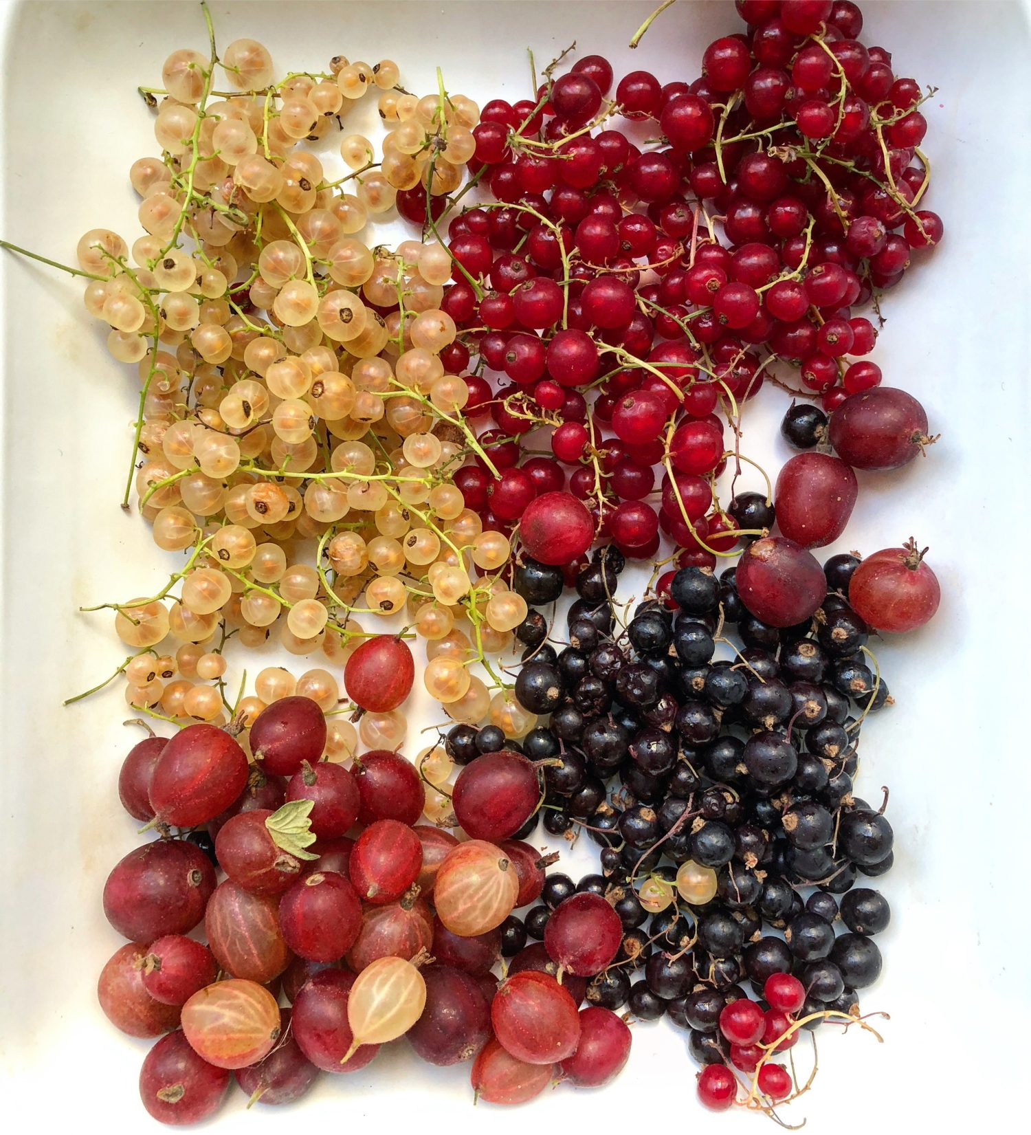 Luscious Summer berries, currants and gooseberries